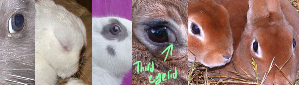 Photographs of rabbit eyes.