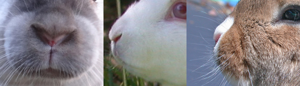 Photographs of real rabbit noses.