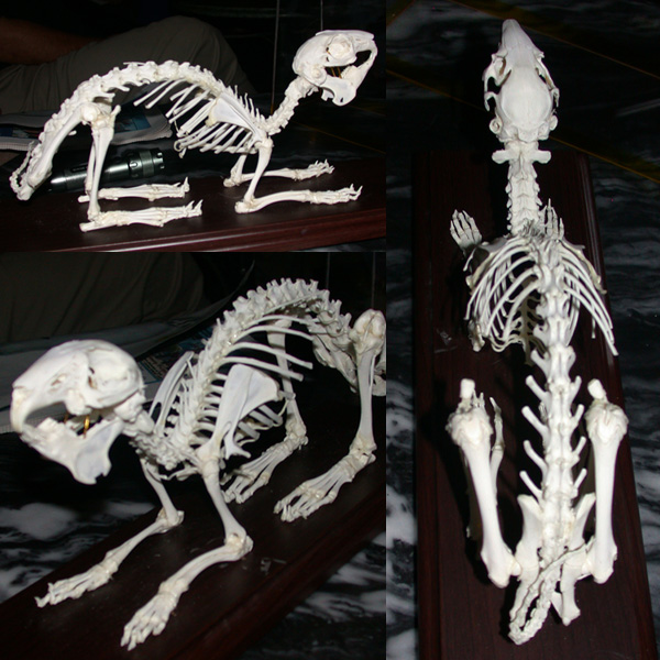 Photographs of a rabbit skeleton.