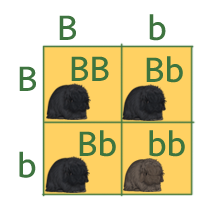 Punnet square showing B and b to be combined with B or b.