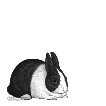 A black rabbit with a white blaze, white paws, and white front half of body.