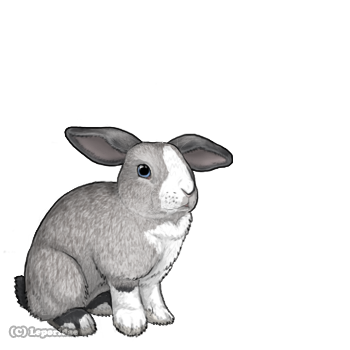 A gray rabbit with black and white markings and airplane ears.