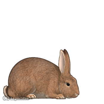 Big-boned rabbit with beady eyes and red-brown fur.